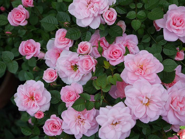 ミスピーチ姫(ミニバラ)の花がたくさん咲いた。2020年-17.jpg