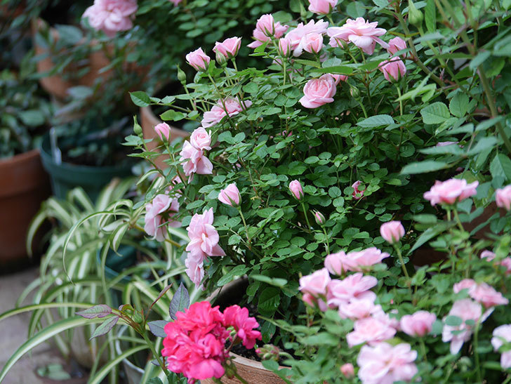 ミスピーチ姫(ミニバラ)の花がたくさん咲いた。2020年-2.jpg