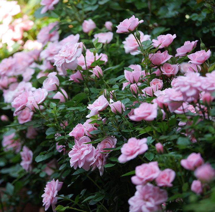 ミスピーチ姫(ミニバラ)の花がたくさん咲いた。2020年-3.jpg