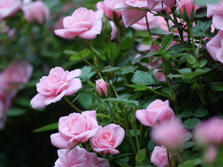 ミスピーチ姫(ミニバラ)の花がたくさん咲いた。2020年-4.jpg