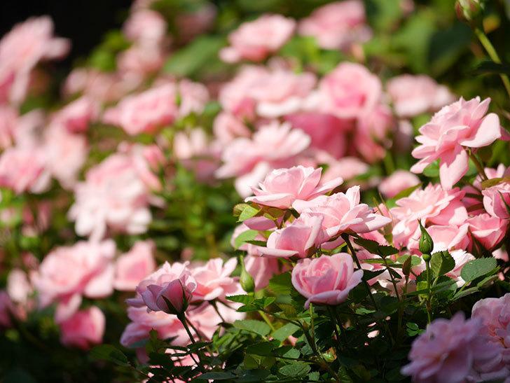 ミスピーチ姫(ミニバラ)の花がたくさん咲いた。2020年-5.jpg
