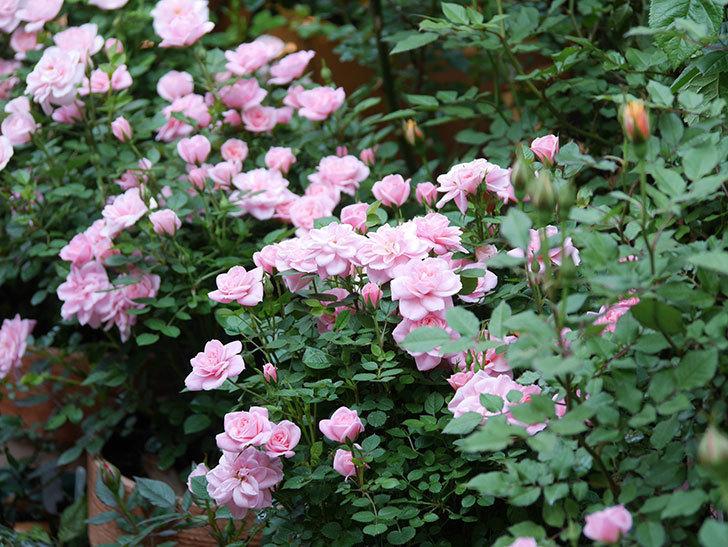 ミスピーチ姫(ミニバラ)の花がたくさん咲いた。2020年-6.jpg