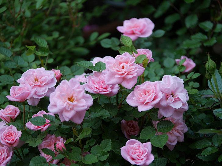 ミスピーチ姫(ミニバラ)の花がたくさん咲いた。2020年-7.jpg