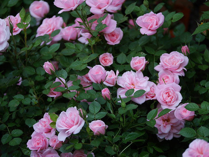 ミスピーチ姫(ミニバラ)の花がたくさん咲いた。2020年-8.jpg