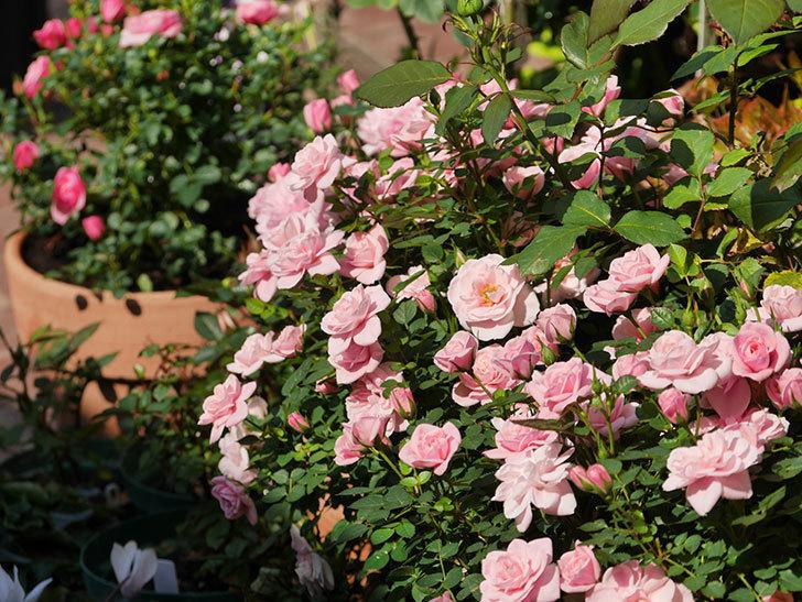 ミスピーチ姫(ミニバラ)の花がたくさん咲いた。2020年-9.jpg