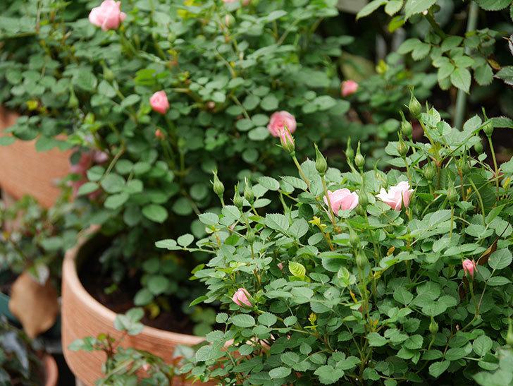ミスピーチ姫(ミニバラ)の花がぽつぽつ咲きだした。2020年-11.jpg