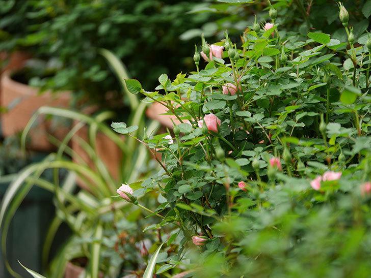 ミスピーチ姫(ミニバラ)の花がぽつぽつ咲きだした。2020年-13.jpg