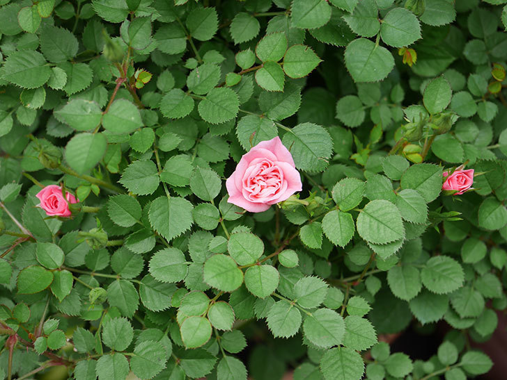 ミスピーチ姫(ミニバラ)の花がぽつぽつ咲きだした。2020年-16.jpg