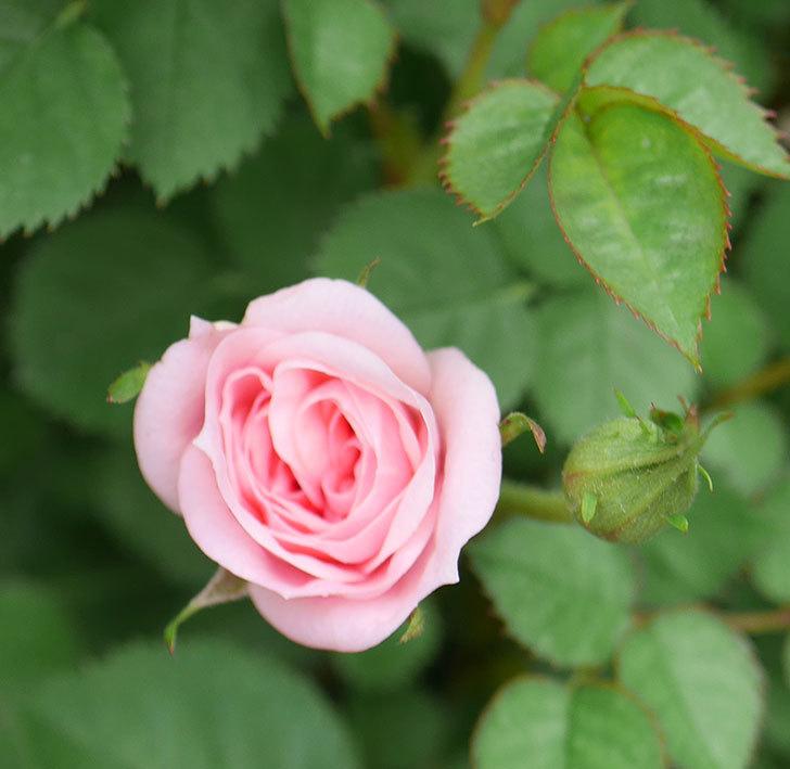 ミスピーチ姫(ミニバラ)の花がぽつぽつ咲きだした。2020年-19.jpg