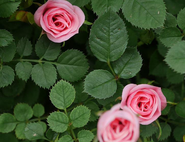 ミスピーチ姫(ミニバラ)の花がぽつぽつ咲きだした。2020年-20.jpg