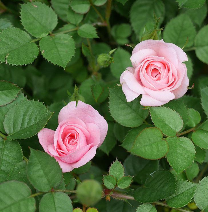 ミスピーチ姫(ミニバラ)の花がぽつぽつ咲きだした。2020年-21.jpg