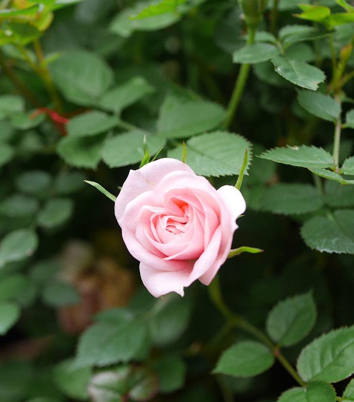 ミスピーチ姫(ミニバラ)の花がぽつぽつ咲きだした。2020年-23.jpg