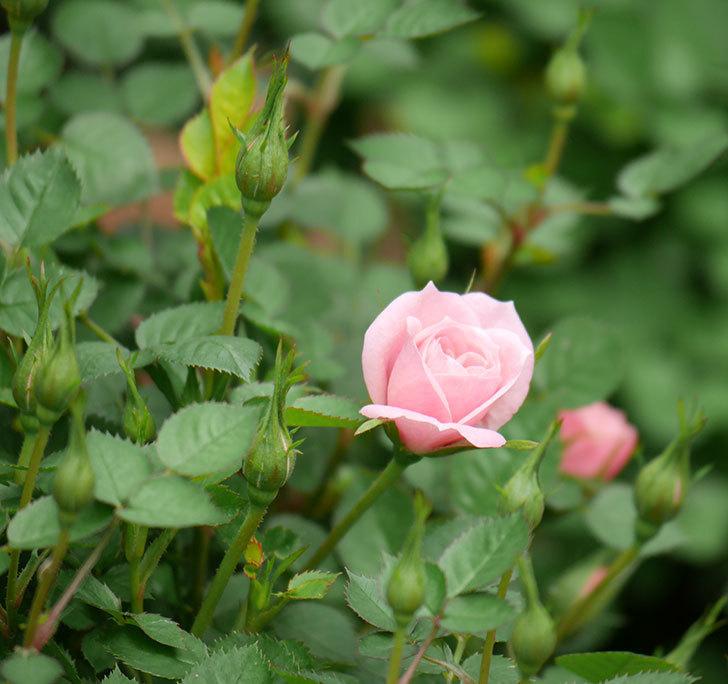 ミスピーチ姫(ミニバラ)の花がぽつぽつ咲きだした。2020年-3.jpg
