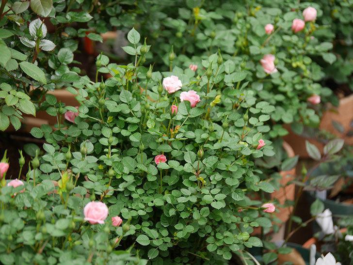 ミスピーチ姫(ミニバラ)の花がぽつぽつ咲きだした。2020年-6.jpg