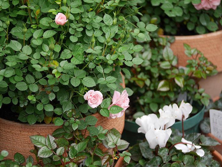ミスピーチ姫(ミニバラ)の花がぽつぽつ咲きだした。2020年-9.jpg