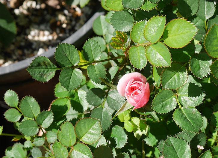 ミスピーチ姫(ミニバラ)の花がまた咲きだした。2019年-1.jpg