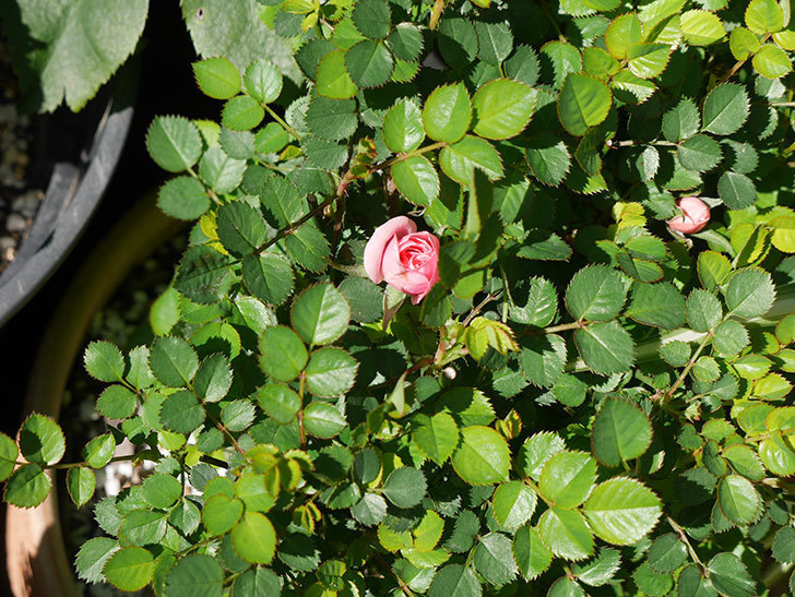 ミスピーチ姫(ミニバラ)の花がまた咲きだした。2019年-3.jpg