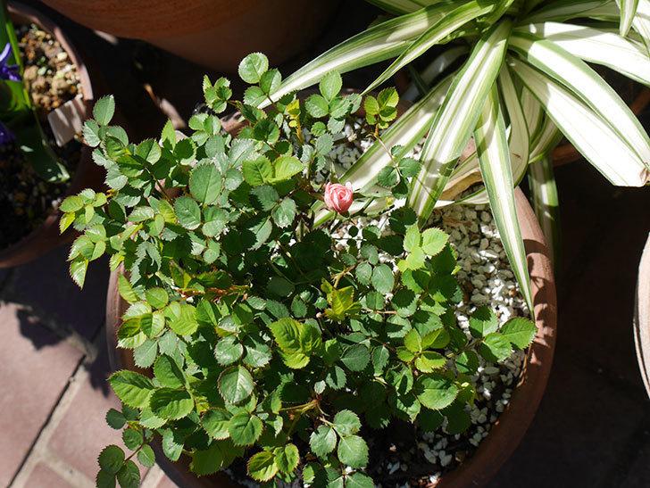 ミスピーチ姫(ミニバラ)の花がまた咲きだした。2019年-6.jpg