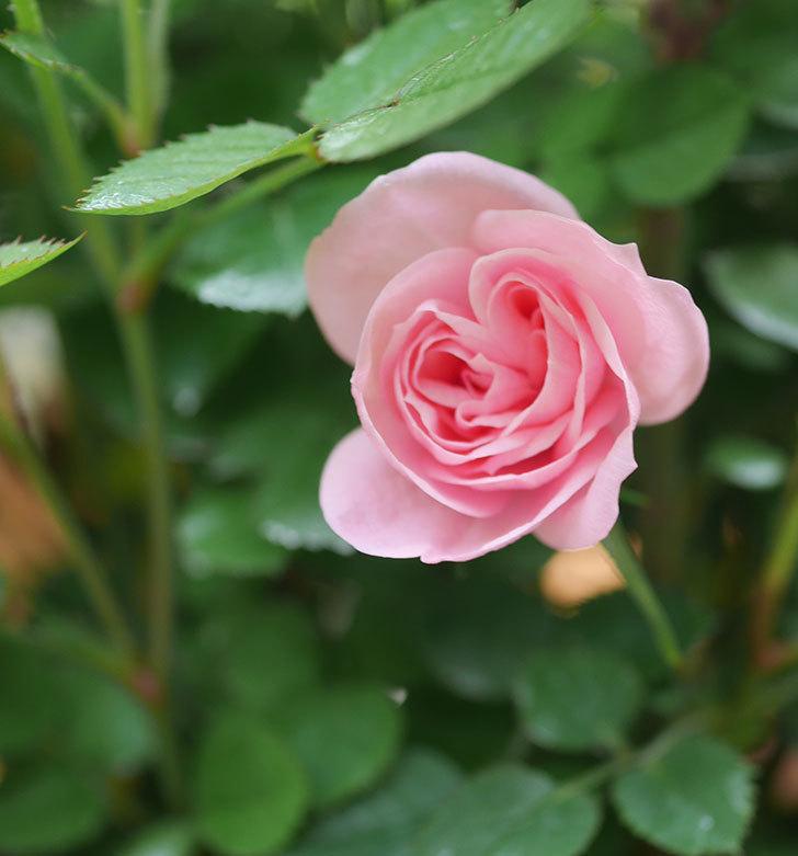 ミスピーチ姫(ミニバラ)の花がまた咲きだした。2020年-1.jpg