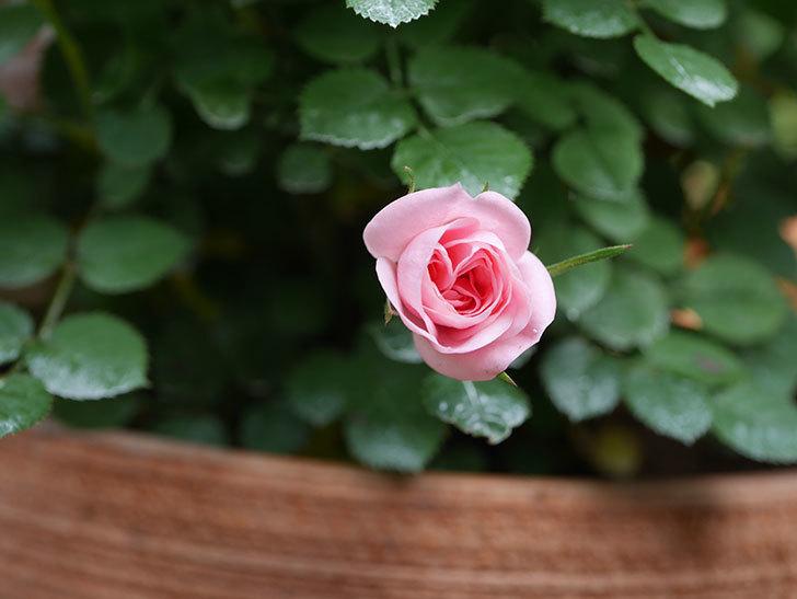 ミスピーチ姫(ミニバラ)の花がまた咲きだした。2020年-3.jpg