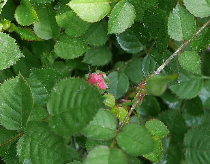ミスピーチ姫(ミニバラ)の花がまた咲きだした。2020年-6.jpg