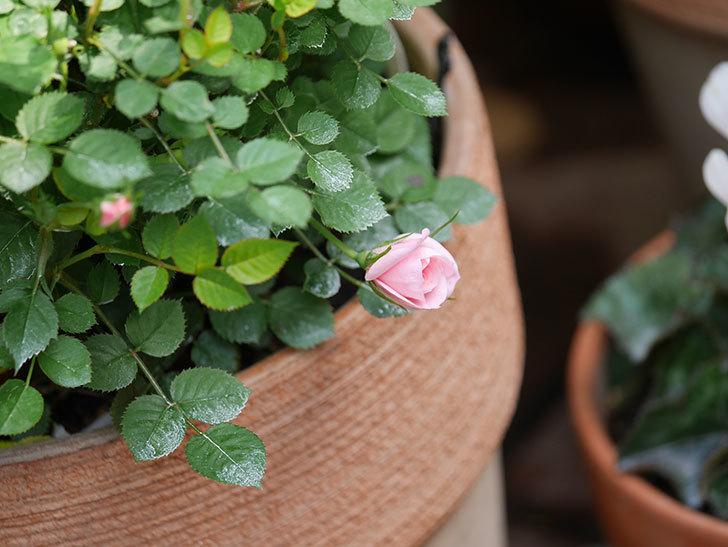 ミスピーチ姫(ミニバラ)の花がまた咲きだした。2020年-8.jpg