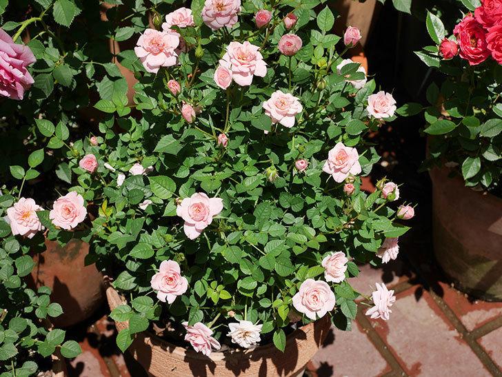 ミスピーチ姫(ミニバラ)の花がまた咲き出した。2019年-1.jpg