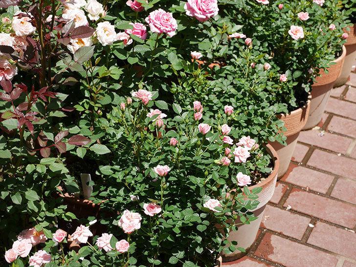 ミスピーチ姫(ミニバラ)の花がまた咲き出した。2019年-3.jpg