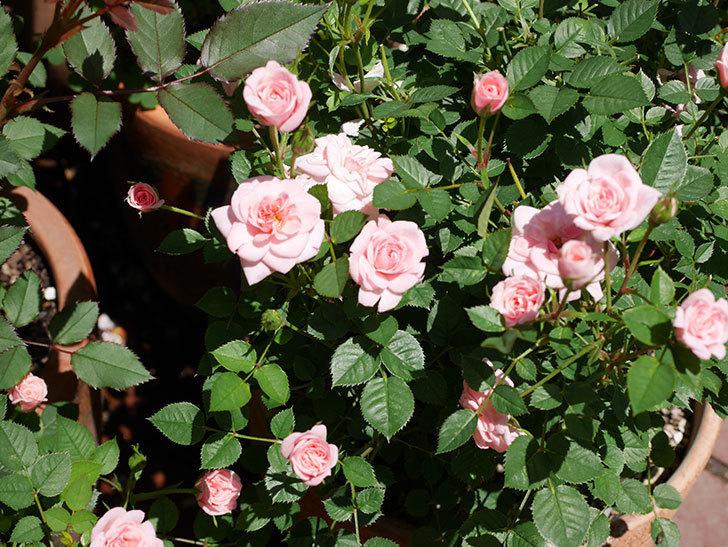 ミスピーチ姫(ミニバラ)の花がまた咲き出した。2019年-4.jpg