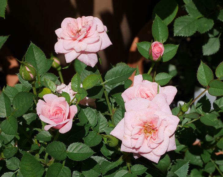 ミスピーチ姫(ミニバラ)の花がまた咲き出した。2019年-7.jpg