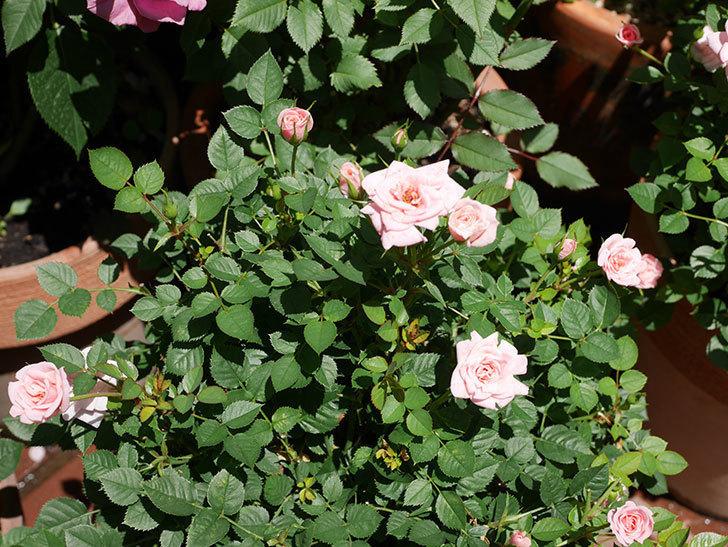 ミスピーチ姫(ミニバラ)の花がまた咲き出した。2019年-9.jpg