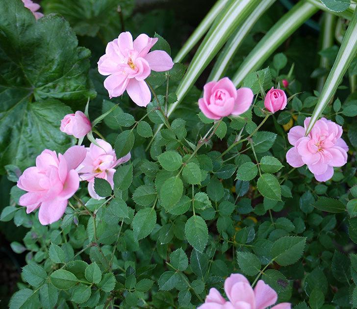 ミスピーチ姫(ミニバラ)の花がまだ次々と咲く。2016年-2.jpg