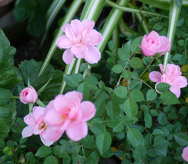 ミスピーチ姫(ミニバラ)の花がまだ次々と咲く。2016年-3.jpg