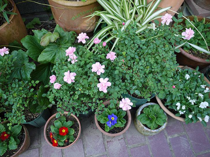 ミスピーチ姫(ミニバラ)の花がまだ次々と咲く。2016年-5.jpg