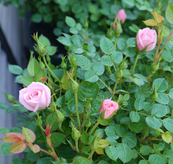 ミスピーチ姫(ミニバラ)の花がポツポツ咲きだした。2017年-10.jpg