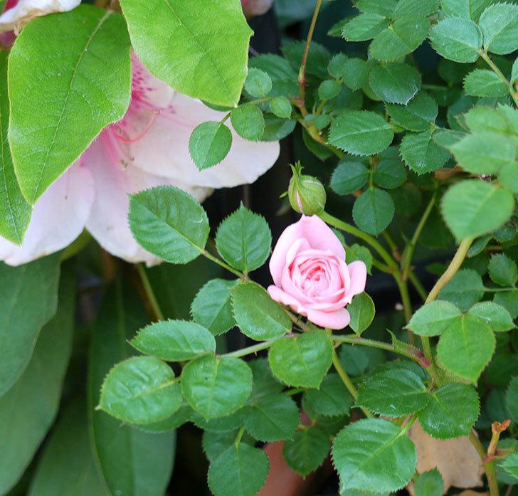 ミスピーチ姫(ミニバラ)の花がポツポツ咲きだした。2017年-5.jpg