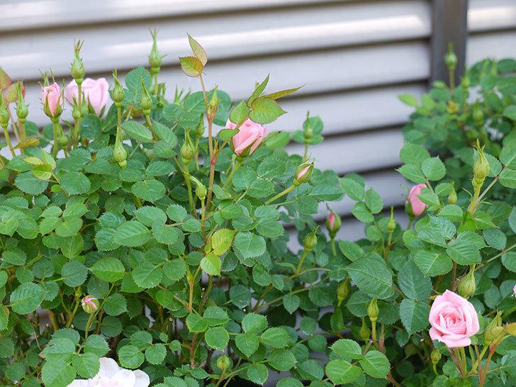 ミスピーチ姫(ミニバラ)の花がポツポツ咲きだした。2017年-6.jpg
