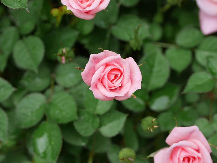 ミスピーチ姫(ミニバラ)の花がポツポツ咲きだした。2019年-12.jpg