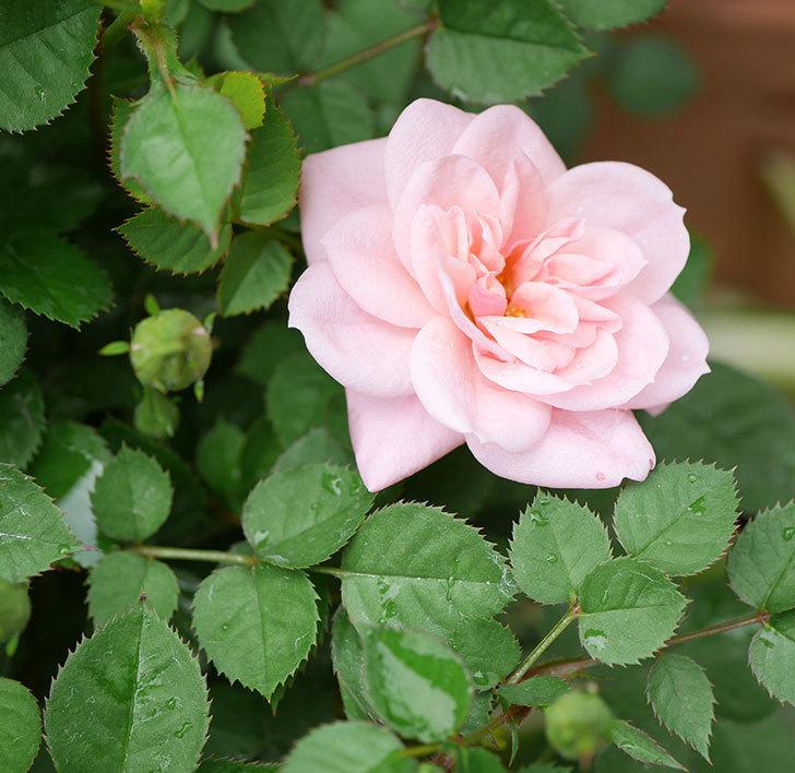 ミスピーチ姫(ミニバラ)の花がポツポツ咲きだした。2019年-14.jpg