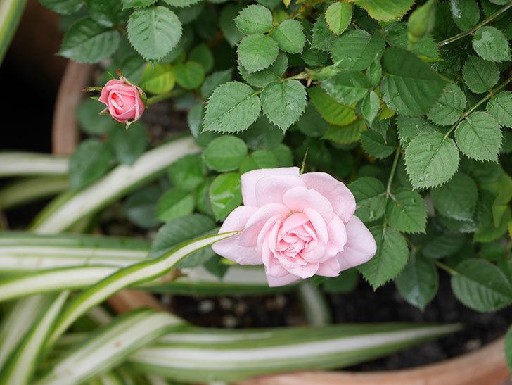 ミスピーチ姫(ミニバラ)の花がポツポツ咲きだした。2019年-15.jpg