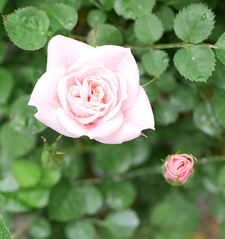 ミスピーチ姫(ミニバラ)の花がポツポツ咲きだした。2019年-16.jpg