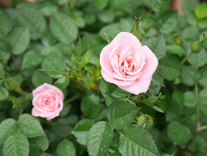 ミスピーチ姫(ミニバラ)の花がポツポツ咲きだした。2019年-2.jpg