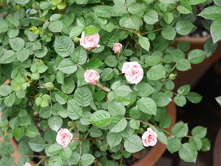 ミスピーチ姫(ミニバラ)の花がポツポツ咲きだした。2019年-3.jpg