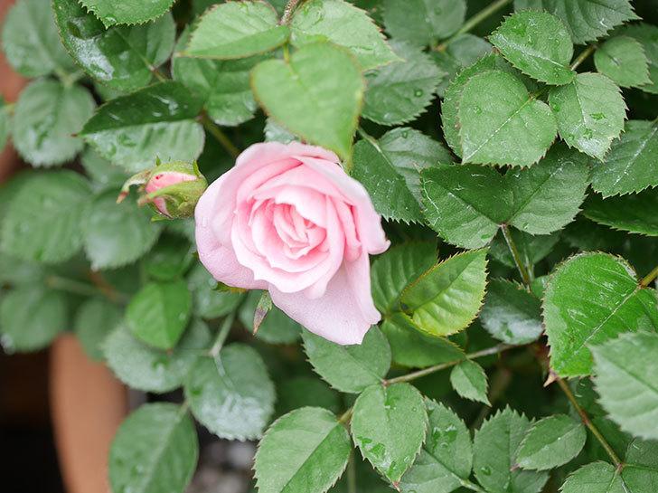 ミスピーチ姫(ミニバラ)の花がポツポツ咲きだした。2019年-4.jpg