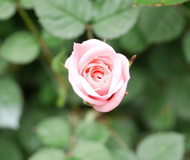 ミスピーチ姫(ミニバラ)の花がポツポツ咲きだした。2019年-5.jpg