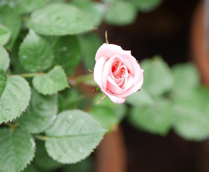ミスピーチ姫(ミニバラ)の花がポツポツ咲きだした。2019年-6.jpg