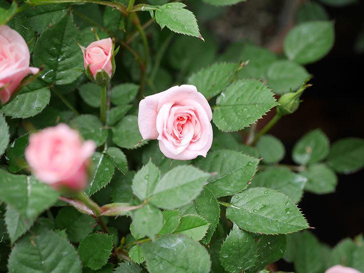ミスピーチ姫(ミニバラ)の花がポツポツ咲きだした。2019年-7.jpg