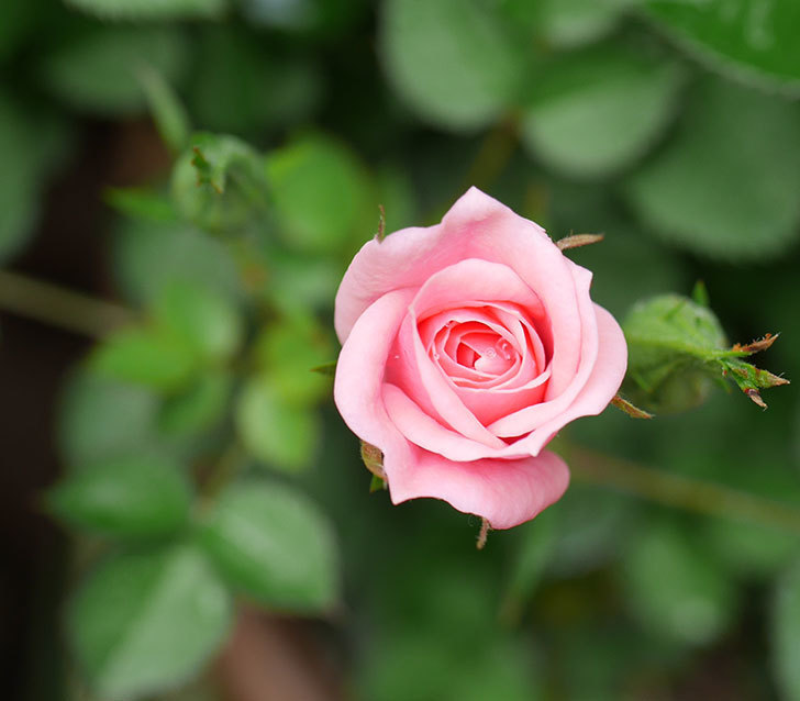 ミスピーチ姫(ミニバラ)の花がポツポツ咲きだした。2019年-9.jpg