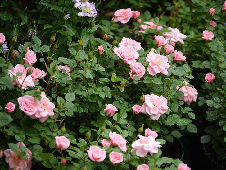 ミスピーチ姫(ミニバラ)の花が一気に咲いた。2018年-1.jpg