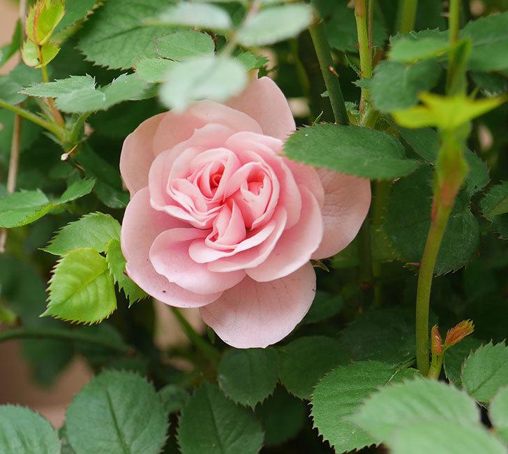 ミスピーチ姫(ミニバラ)の花が咲いた。2020年-1.jpg